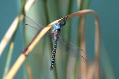 Blue-eyed Darner Dragonfly (Rhionaeschna multicolor); Tucson, AZ, Christopher Columbus Park [Lou Feltz] (deserttoad) Tags: arizona nature insect dragonfly pond behavior outdoors