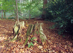 The remnant of my thoughts (Tales of a Flaneur) Tags: blackpark buckinghamshire park autumn autumnal 120 mediumformat portra400 pentax645 pentax outdoors nature natural woods england english uk unitedkingdom britain greatbritain british trees stump stumpy leaves broken wexham tree