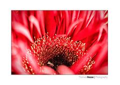 RED (Der Zeit die Augenblicke stehlen) Tags: blumenundpflanzen eos700d flower frühling hth56 makro rot spring thomashesse floweroftheday flowerporn flowerpower red blume garten gardening