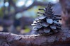 See you in the woods! Pine Cones (Leitratista) Tags: pine pinetree pinecone cone conifera color composition nature lovenature explore throughherlens bokeh tree nikonshots nikond3400 nikoncapture makephoto photography philippines nagaparan light adventure focus walk