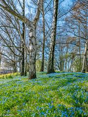 Blue Bells during spring in Zoopark, Duessldorf (patuffel) Tags: blue bells zoopark spring scilla blau sterne stern düsseldorf duesseldorf dusseldorf fruehling