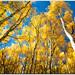 Season of Gold (mlibbe) Tags: aspen colorado fall fallcolor fallfoliage gold landscape nature sky trees wwwmichaellibbephotographycom