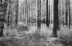 Scan 11 (doc-harvey) Tags: hwschlaefer docharvey 2017 analog analogue film scan from print contax t trix400 tx400 bw bwfp blackandwhite blancetnoir schwarzweis trees light darkroom allee alley