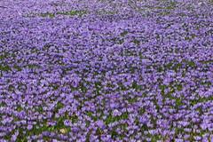 fields of crocus (dr.larsbergmann) Tags: flowers flora colorful fantasticnature natureandnothingelse canon eos 100mm crocus macrodreams ef100mmf28lmacroisusm outdoor explored garden languageofflowers