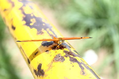 Borboleta bairro São João JM - Wir Caetano - 26 04 2017 (19) (dabliê texto imagem - Comunicação Visual e Jorn) Tags: borboleta inseto amarelo escada ferrugem