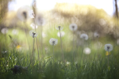 fly (Lamson**NG) Tags: dandelions fly bokeh lamson white puffy weeds greengrass