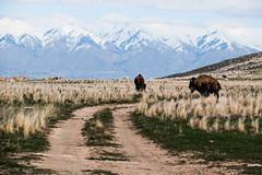 Bison ranch (joshhansenmillenium) Tags: reedits photography nikon d5500 tamron bw nature antelope island hiking coyotes buffalo mountains sunset utah salt lake city 18200mm frary peak point