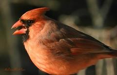 Cardinal (NaturewithMar) Tags: northern cardinal male bird macro spring 2017 nikoncoolpix b700 ngc npc