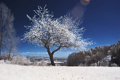 Appletree (johaennesy) Tags: infrared 720nm falsecolour blue sky tree woodeffect lonetree gimp rawtherapee infraredphotography hohenbodmann lensflare