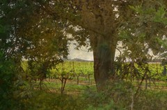 American Canyon Roadside (SolanoSnapper) Tags: americancanyon greenislandroad vineyard winecountry napacounty