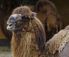 Not the tidiest of guys (roksoslav) Tags: zagreb croatia 2017 nikon d7000 nikkor70300mm deva camel