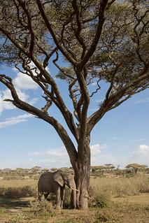 Sleeping Elephant Under Acacia