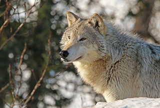 Closeup Portrait Of a Timber Wolf
