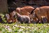 20170402-Mähnenwolf, Tiergarten Nürnberg-013.jpg (serpentes80) Tags: mähnenwolf tiere tiergartennürnberg