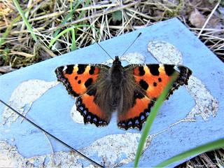 Butterfly 1196