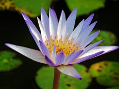 autum lily (oneroadlucky) Tags: nature plant flower purple lotus waterlily