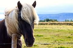 Hey there! (JeffGuth) Tags: horse icelandichorse icelandic wildlife animals iceland