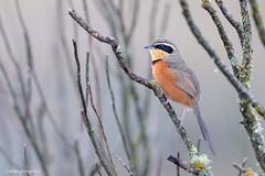_NGR3384gallito-de-collar (ninograngetto@hotmail.com) Tags: sierrasdecordoba argentina aves nikon d5 600mm naturaleza