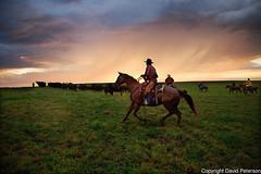 cowboy-roundup-rain-sunrise-herd (cheroyori) Tags: cowboy roundup roping lariat vaccination cows western horses branding rain rainbow mud teamwork ranch calf stetson storm sunrise work task friendship outdoors