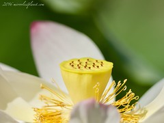 (mirrorlessplanet.com) Tags: mirrorlessplanetcom usa washingtondc flower lotusflower nature kenilworthaquaticgardens