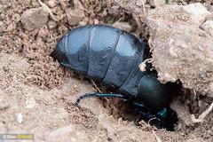 Oil beetle burrow (Dom Greves) Tags: april behaviour calcareousgrassland dorset excavation female grassland insect invertebrate meloeproscarabaeus nestburrow oilbeetle spring uk wildlife