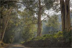 Sunrays on the road (Pwa25) Tags: sunrays gumtree road country victoria australia noojee trees bush