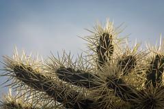 spines (DidaK) Tags: didakutz cactus macros spines
