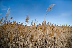 Beach reeds (joshhansenmillenium) Tags: nikon photography d5500 hiking adventure nature utah salt lake city antelope island sunset moon animals coyotes buffalo bison mountains tamron 18200mm frary peak great