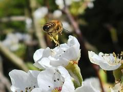 Wie ein kleiner Hubschrauber hebt ein fleißiges Bienchen... (Wallus2010) Tags: macro nikon nahaufnahme
