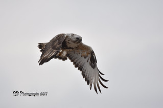 Rough-legged Hawk DSC_2362