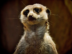 "Meerkat (bobrizz1) Tags: greatshotss "" nature'splus thebestofmimamorsgroups photosandcalendar vividstriking"