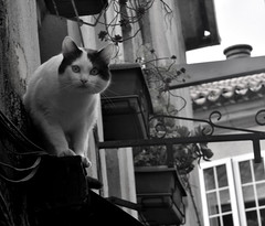 Un gato en Pontevedra (carlosdeteis.foto) Tags: carlosdeteis gato jato cats pontevedra galicia galiza