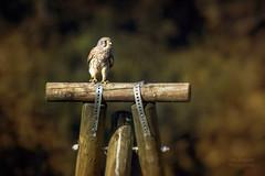 Turmfalke (Lutz.L) Tags: tier vogel raubvogel falke turmfalke