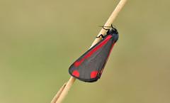 Cinnabar Moth (Tyria jacobaeae) (Bob Eade) Tags: moth lepidoptera seaford southdownsnationalpark eastsussex cinnabarmoth downland red black spring macro wildlife nature nikon