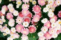 Spring Color ([M!chael]) Tags: nikon f3hp nikkor 10525 ais kodak ultramax400 taiwan film manual flower nature color