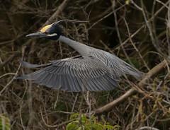 OC_042317z7 (Eric C. Reuter) Tags: oceancity nightherons yellowcrownednightherons nj april 2017 042317 rookery bridge visitorcenter
