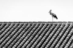 Spain - Cordoba - Pedroche - Stork (Marcial Bernabeu) Tags: stork cigueña cigüeña marcial bernabeu bernabéu spain españa andalucia andalucía andalusia córdoba cordoba pedroche roof techo tejado teja tile