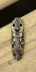 eyed_click_beetle