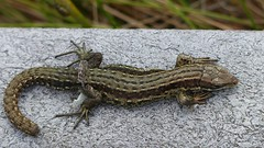 .... oh! (Edinburgh Nette ...) Tags: april17 flandersmoss peatbog boardwalk lizzard amphibians