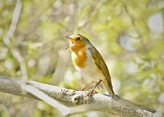 Happy Easter (phil_1_9_7_9) Tags: happyeaster robin europeanrobin red redbreast orange green orangegreen nikond7000 tamronsp70300mmf456divcusd bromley churchhousegardens tree spring bokeh cute sing singing happy sunny easter eye branch animal park naturallight