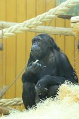chimpansee - Pan troglodytes (MrTDiddy) Tags: chimpansee pan troglodytes mensaap ape chita zooantwerpen zoo antwerpen antwerp