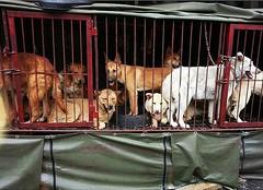 Dog market in Korea (Koreandogs) Tags: 개고양이식용반대 동물학대 한국 복날 개고기 dogmeat catmeat animalcruelty boknal hyundai samsung lg kia sk daewoo fila koreanairline asianaairline boycott pyeongchang2018 imagineyourkorea stopyulin yulin