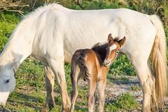 Scènes de Camargue 3 (Xtian du Gard) Tags: chevaux camargue provence paca nature poulain pouliche horse