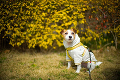 By the Hedge (moaan) Tags: toyonaka osaka japan jp dog jackrussellterrier kinoko outdoor springtime hedge yellow dogportrait bokeh dof utata 2017 leica mp leicamp type240 noctilux 50mm f10 leicanoctilux50mmf10