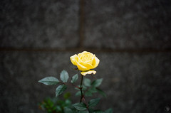 Yellow rose (yasu19_67) Tags: canoneos55 ef40mmf28stm 40mm kodak proimage100 alley atmosphere photooftheday film filmism filmphotography analog osaka japan