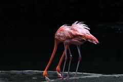 Flamingoes, Jurong Bird Park, Singapore (_paVan_) Tags: jurongbirdpark jurong singapore sanctuary fly birds birdpark birdsanctuary