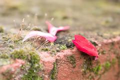 365-99 (Letua) Tags: petalos otoño lluvia dof musgo rojo petals autumn fall red details