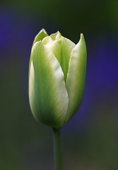 Casting Off The Monday Blues (AnyMotion) Tags: tulpe tulip tulipa tulipaviridifloraspringgreen blossom blüte petals blütenblätter blue bokeh muscari 2017 floral flowers blumen plants pflanzen anymotion frankfurt garden garten spring frühling primavera printemps natur nature colours colors farben white weis green grün blau macro makro 7d2 canoneos7dmarkii makroaufnahmen ngc npc
