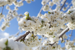 Snow on the Cherry Blossoms (aaronrhawkins) Tags: snow blossoms cold spring flowers plants cherry tree flower pedal bud branch frost sunlight provo utah dusting aaronhawkins