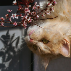 Linus - inspecting the Prunus from a new angle ... (FocusPocus Photography) Tags: linus katze kater cat chat garten tier animal haustier pet ginger feline prunus frühling spring